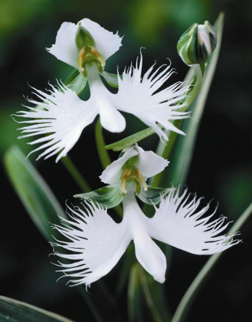 Wild orchids orchid flowers one of the most admired wild orchid types is the ladys slipper which comes in a number of different varieties varying typically in the size of the flower mightylinksfo