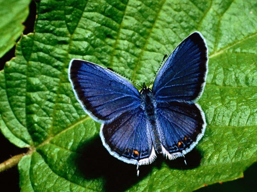Blue butterflies pictures