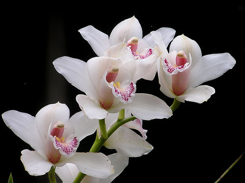 tips on growing white orchids  orchid flowers, Natural flower