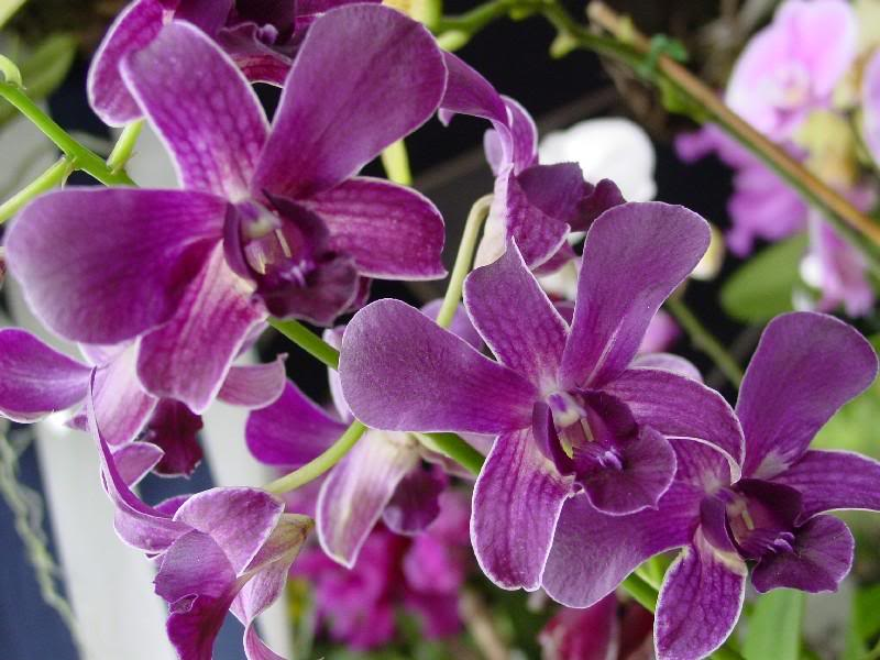 Purple Orchids Types Orchid Flowers