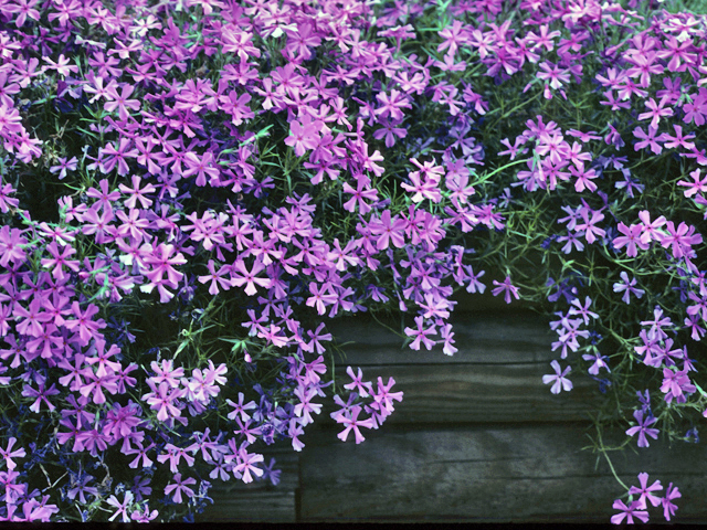 List of perennial flowers orchid flowers candytuft mightylinksfo Choice Image