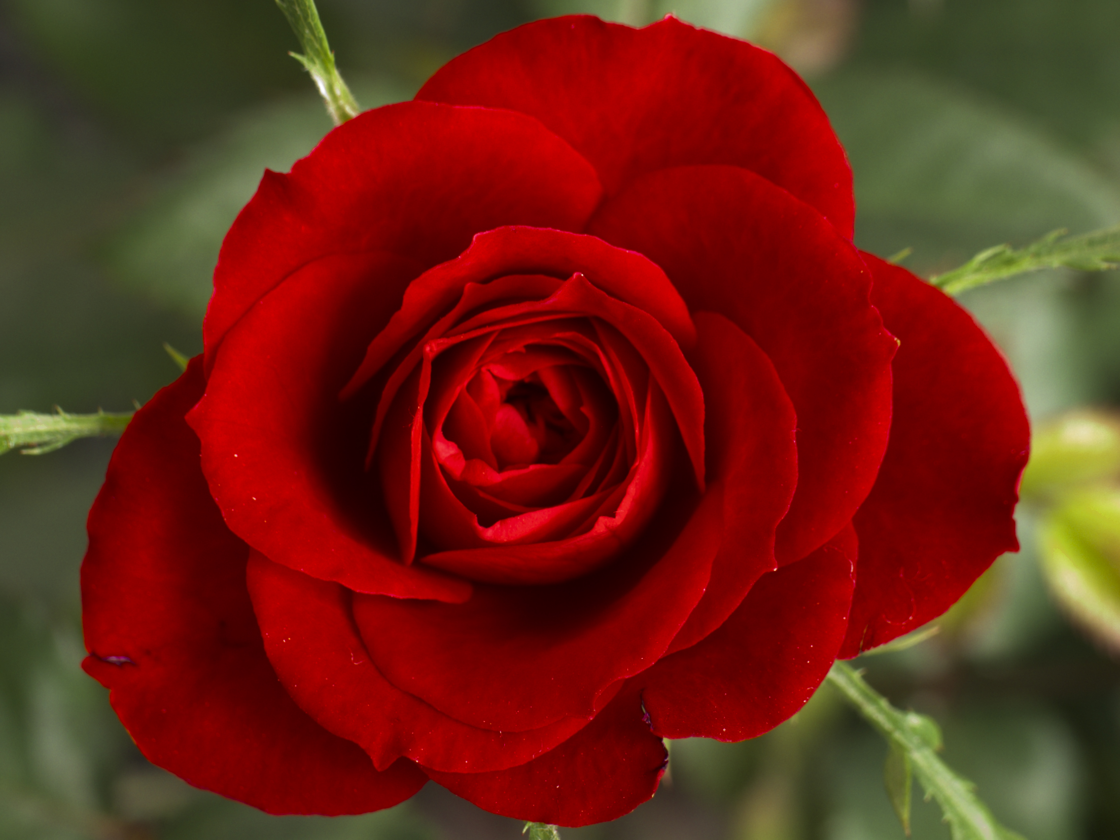 Roses orchid flowers for Images of bouquets of roses