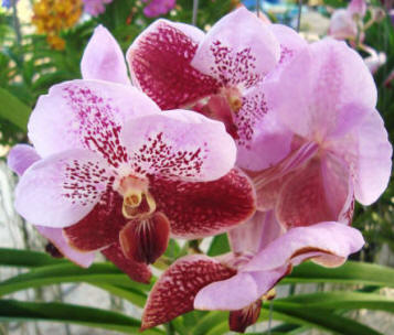 Taking care of vanda orchids orchid flowers - Vanda orchid care ...