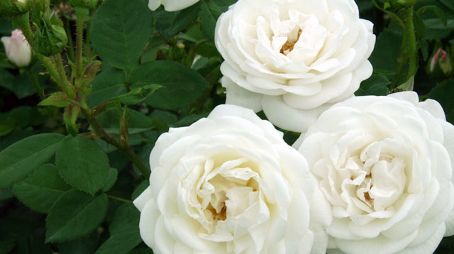 Types of white garden roses orchid flowers alba mightylinksfo