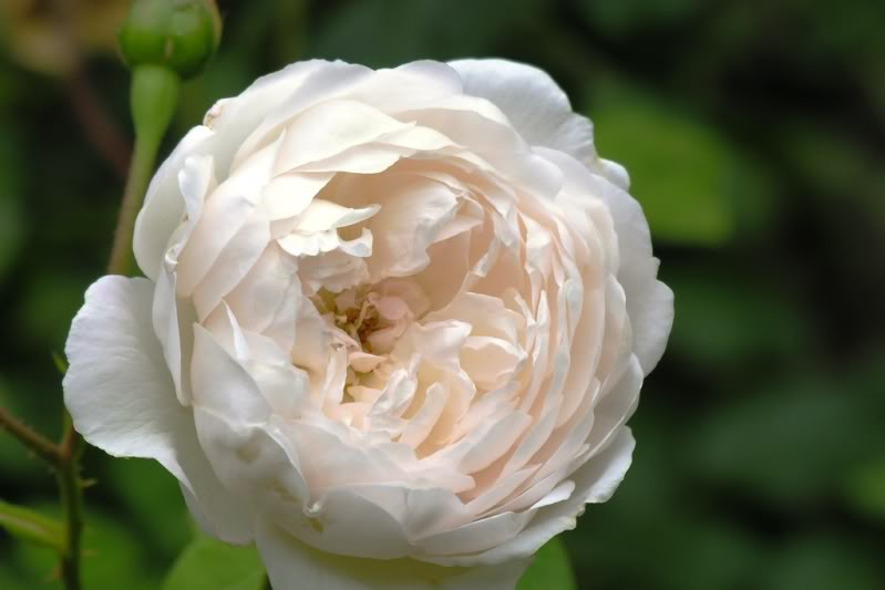 301 moved permanently - Rose cultivars garden ...