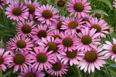 Flowers Especially If Flower Beds Are Circular Oval Or In The Shape Of Kidney They Like Full Sun For Their Growth And Bloom From Mid Summer Into Fall