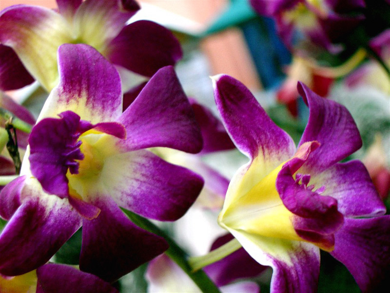 tropical flowers growing tips  orchid flowers, Natural flower