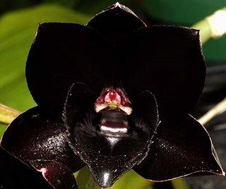 Tips To Grow Black Orchids Orchid Flowers