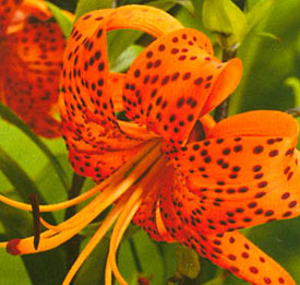 Tiger lily flowers facts and information orchid flowers do you want to know about tiger lily flowers yes this name sounds strange actually tiger lily is an orange flower having dark spots on its petals mightylinksfo