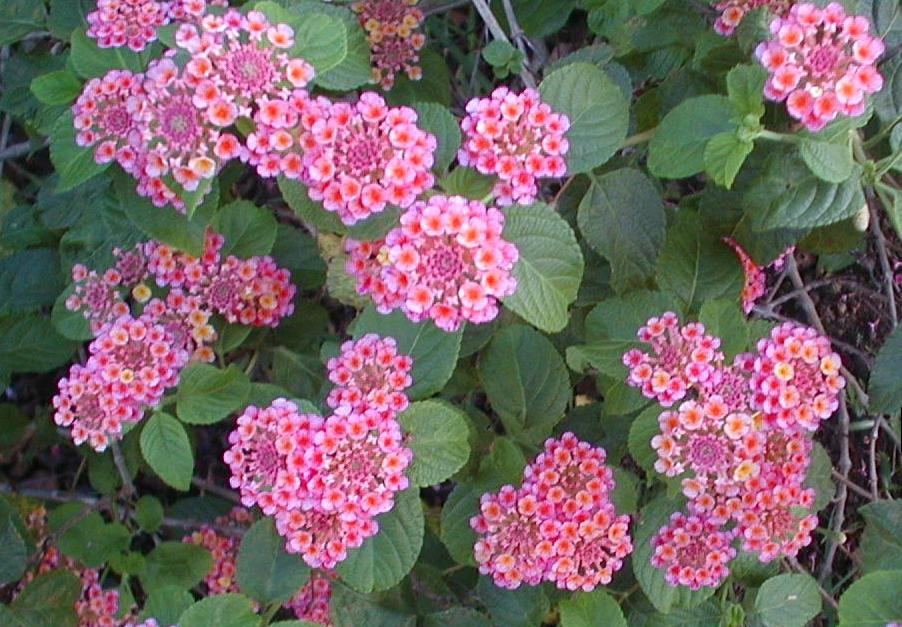 Lantana Hanging Basket Awesome Hanging Plants For Summer Orchid Flowers