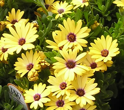 Perennial plants orchid flowers having a round shape african daisy grows in full sun and requires well drained soil it produces showy flowers in pink orange red white and yellow color mightylinksfo
