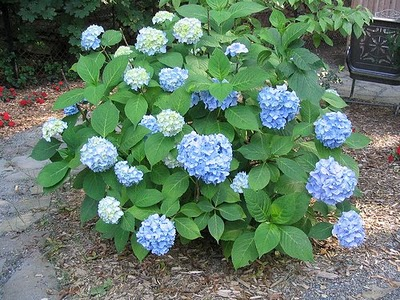 301 moved permanently for Blue flowering bush