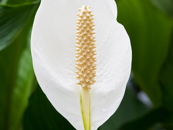 Perennial plants orchid flowers having an average growth rate this perennial likes part sun or shade to grow well growing in well drained soil peace lily produces white flowers mightylinksfo