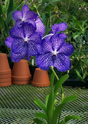 4d4b37931a0c2e Tips to Grow Vanda Orchids in Pots